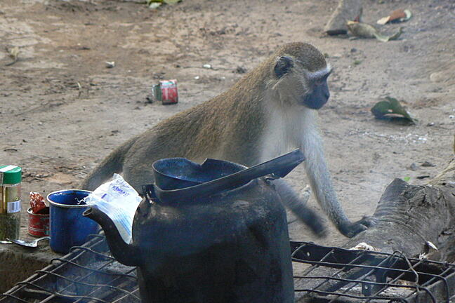 A vervet monkey looking to steal food from an open fire