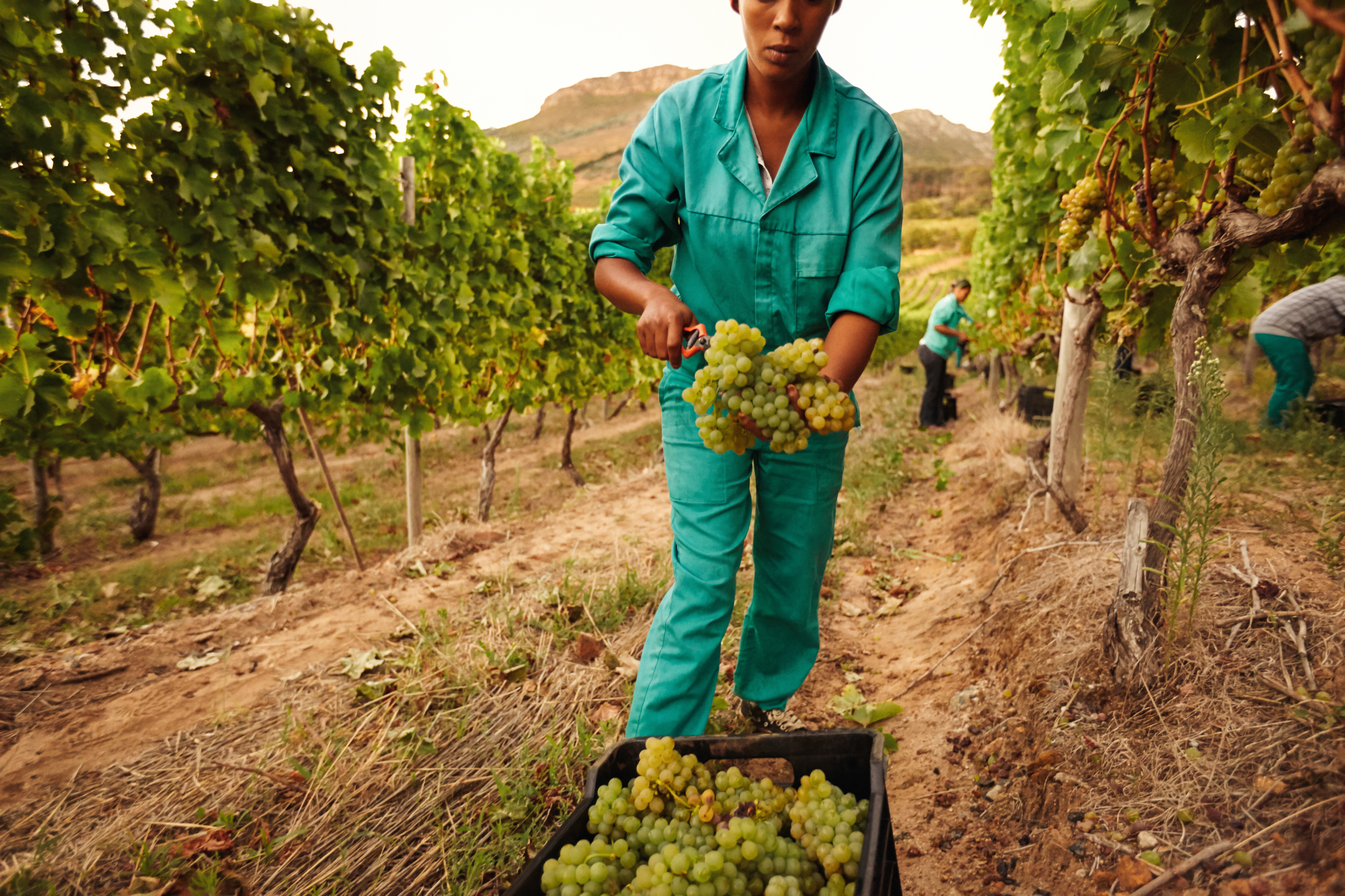 Women harvesting grapes in vineyard and putting the bunch of grapes into a plastic crate.