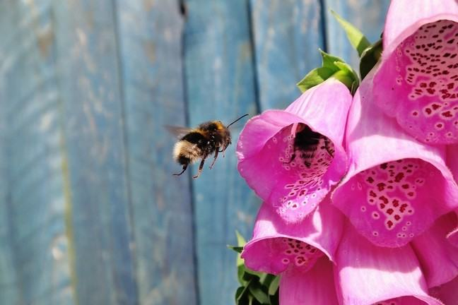 A bee investigating digitalis