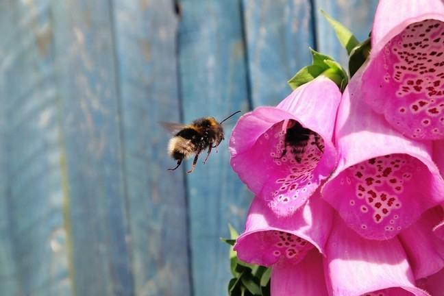 A bee investigating digitalis