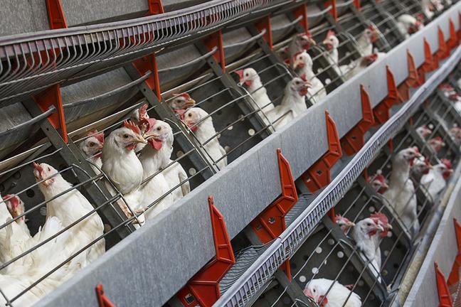poultry hen farm