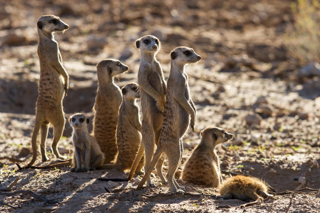 A group of meerkats, standing and sitting.