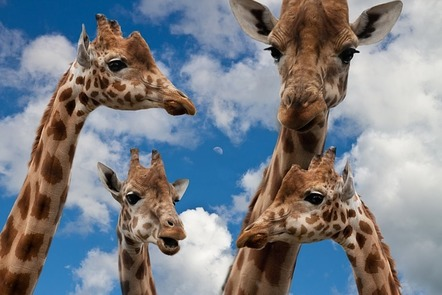 Four giraffes set against the backdrop of a blue sky.