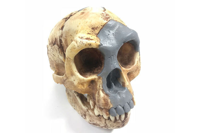 An image of the Homo floresiensis skull