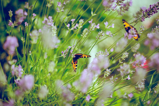 Two butterflies on lavender flowers