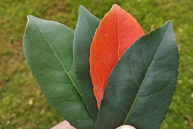 Three green leaves, one orange leaf
