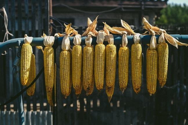 22 cobs of corn hanging on a metal bar