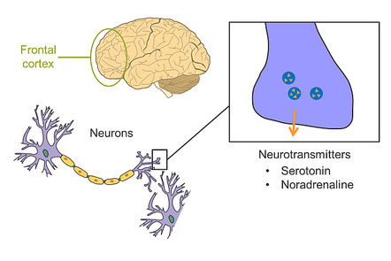 A schematic of neurotransmitters released from neurons in the frontal cortex of the brain