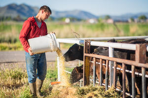 Farmer feeding cows from a bucket with rolling hills in the background