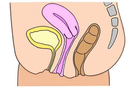 Sectional view of the rectum.