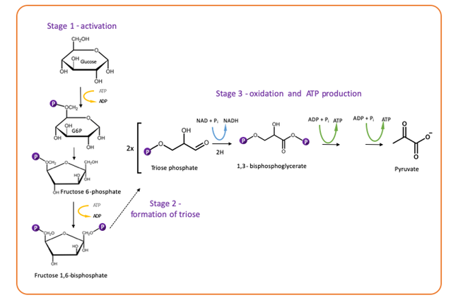 Chemical reactions of all glycolysis steps. Please see text for figure 8 for detail of this process