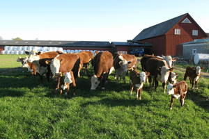 Photo of two cows eating hay from a container. Photo: Malin Planting/SLU