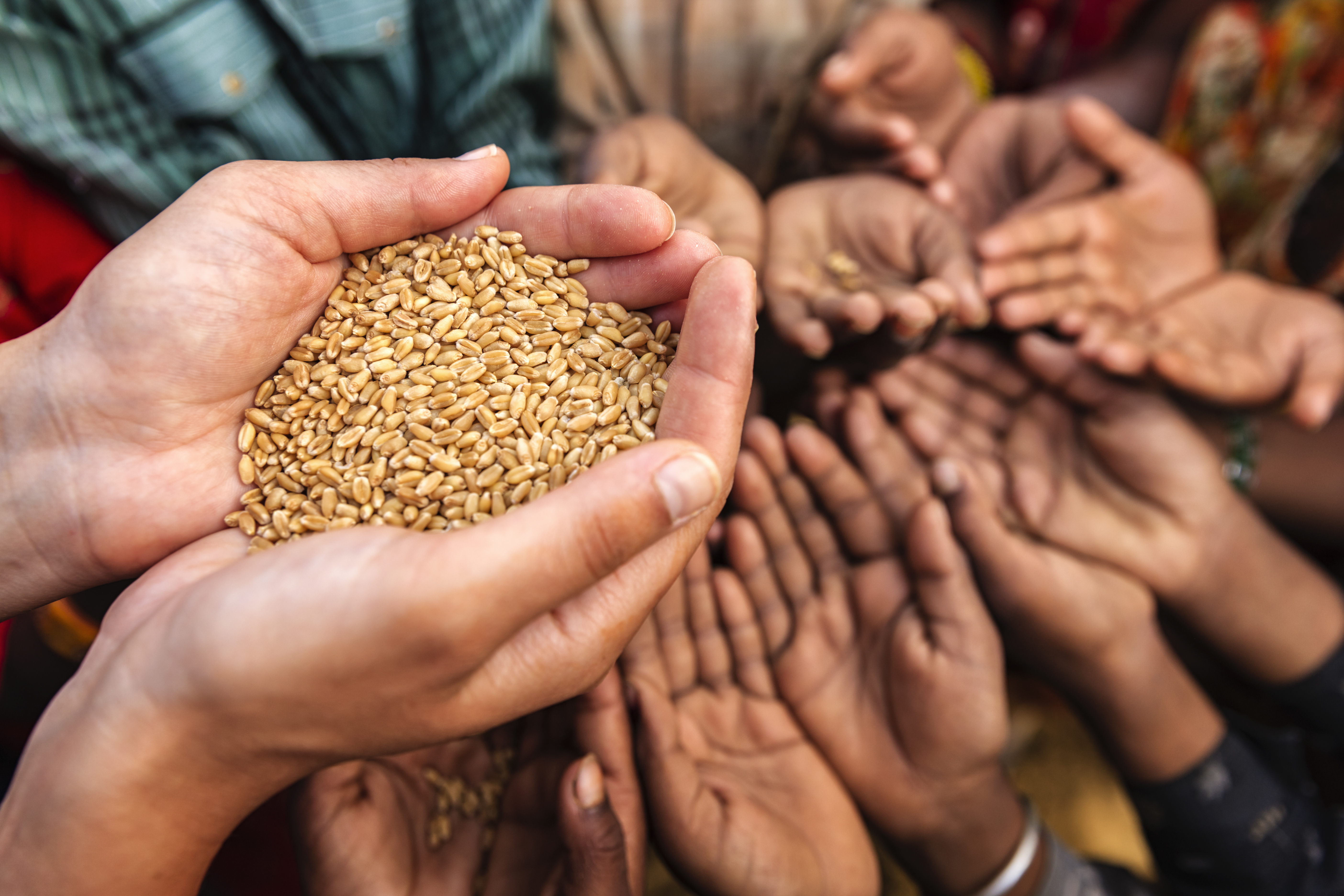 Volunteer caucasian woman giving grain to starving Indian children. Poor Indian children keeping their hands up and asking for support.