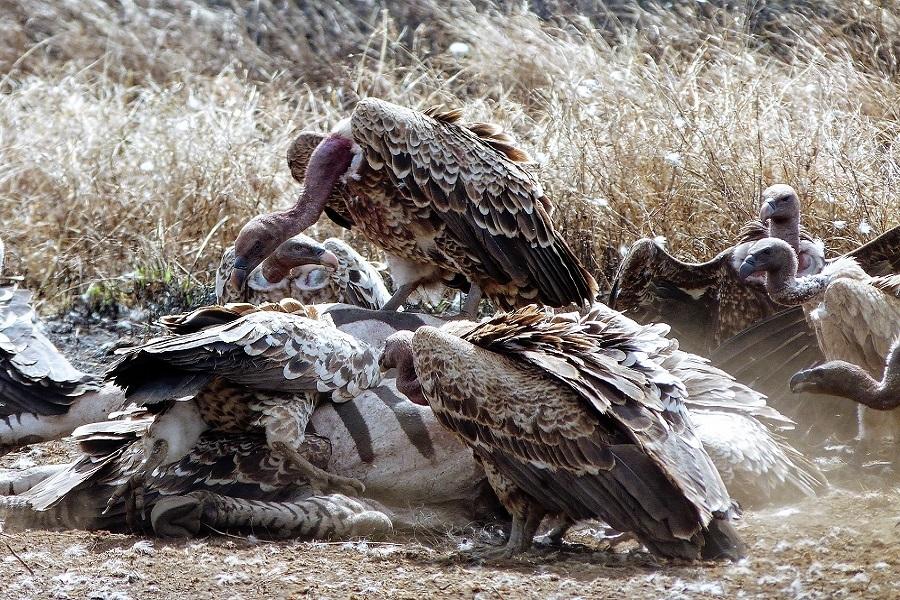Vultures having lunch