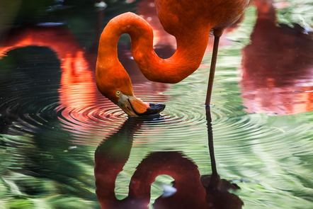 A drinking flamingo causing ripples on the water