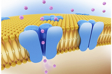 A schematic of a cell wall with open and closed ion channels