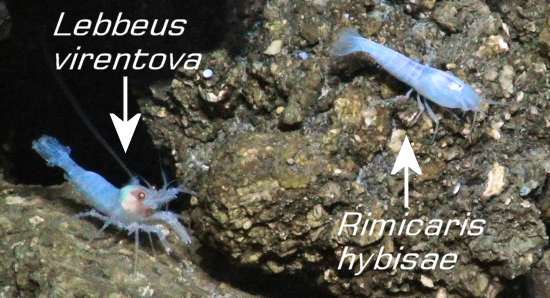 Two new species of shrimps at a deep-sea vent in the Cayman Trough