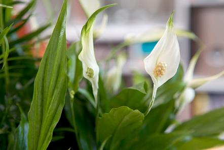 Peace lily growing on a shelf