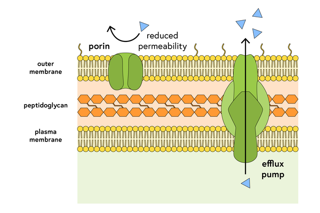 Schematic of a bacterial plasma membrane, peptidoglycan cell wall and outer membrane, with a porin and a label reading 'reduced permeability' in the outer membrane, and an efflux pump spanning all three layers