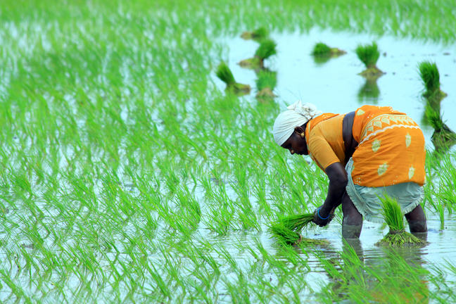 A woman in a rice paddy field bending over and picking rice stalks.