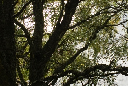 This image shows a deciduous tree in summer time.