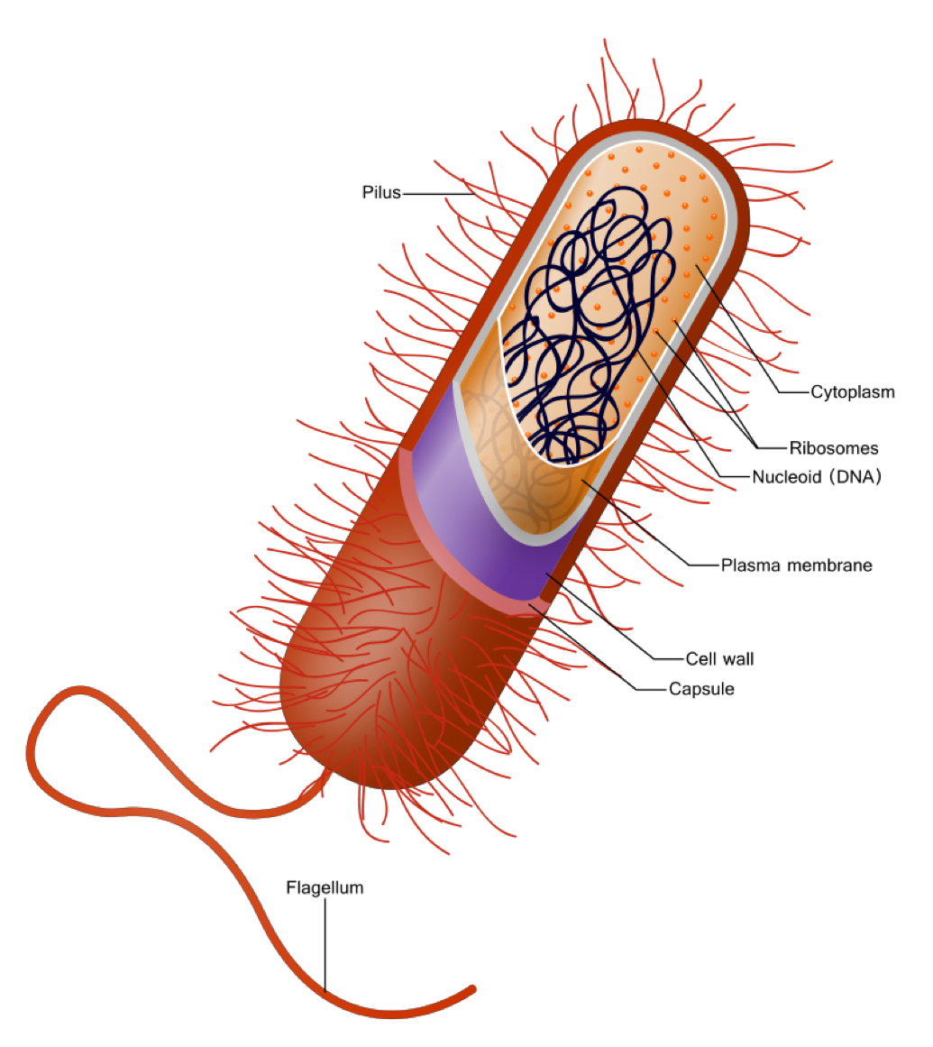 A labelled diagram of a typical bacterium cell