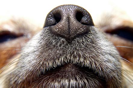 Close up of a dog nose