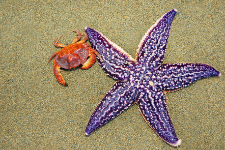 A red crab and a purple starfish lying on wet sand