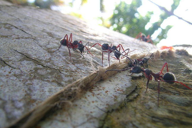Close-up of four ants at work on the trunk of a tree