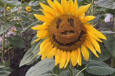 A sunflower that appears to be smiling