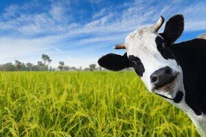 a cow watching you in rice field