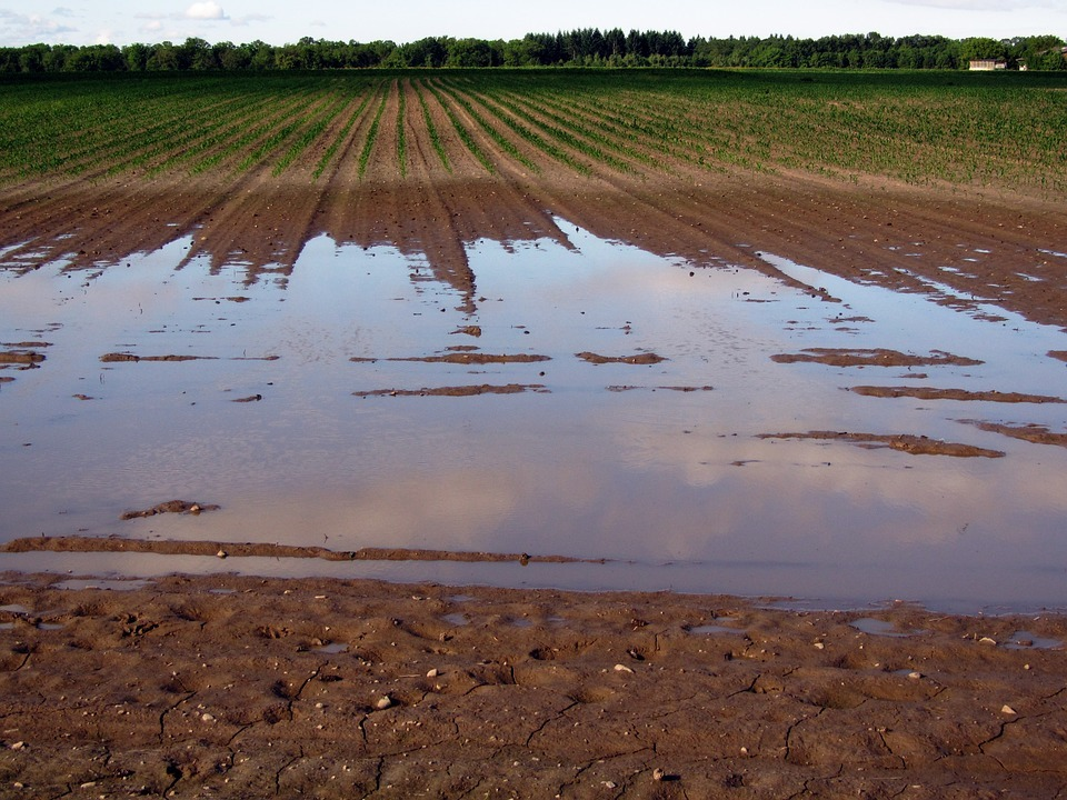Furrowed field of saplings but there is a large section which is flooded