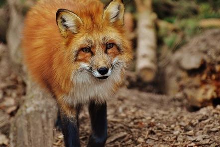 Fox staring into camera