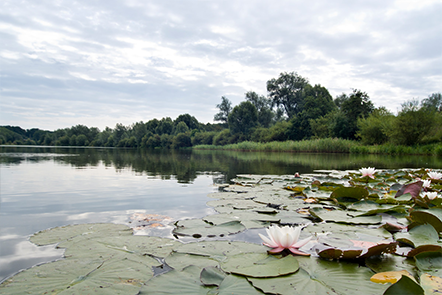 Lily pads on the broad