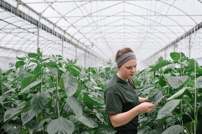 Young lady walking through a greenhouse examining two metre high plants