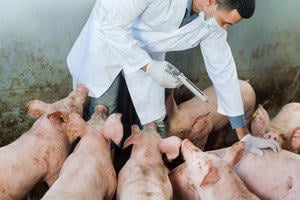 A vet injecting pigs