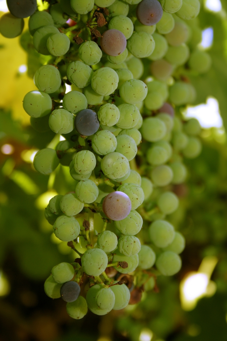 A close photo of green grapes hanging on a vine.