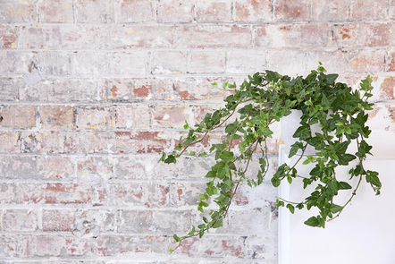 Trailing ivy plant growing indoors