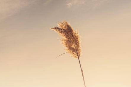 Single ear of wheat against sky