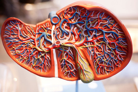 Illustration of the liver inside the body