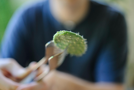 Gardener holding a cactus leaf with tongs