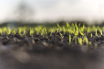 Small barley sprouts coming up from the earth.