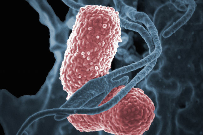 A human neutrophil interacting with Klebsiella pneumoniae (pink), a multidrug–resistant bacterium that causes severe hospital infections.