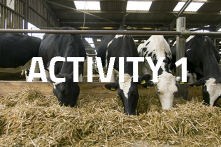 Four cows in a row eating straw. 'Activity 1' written over the top.