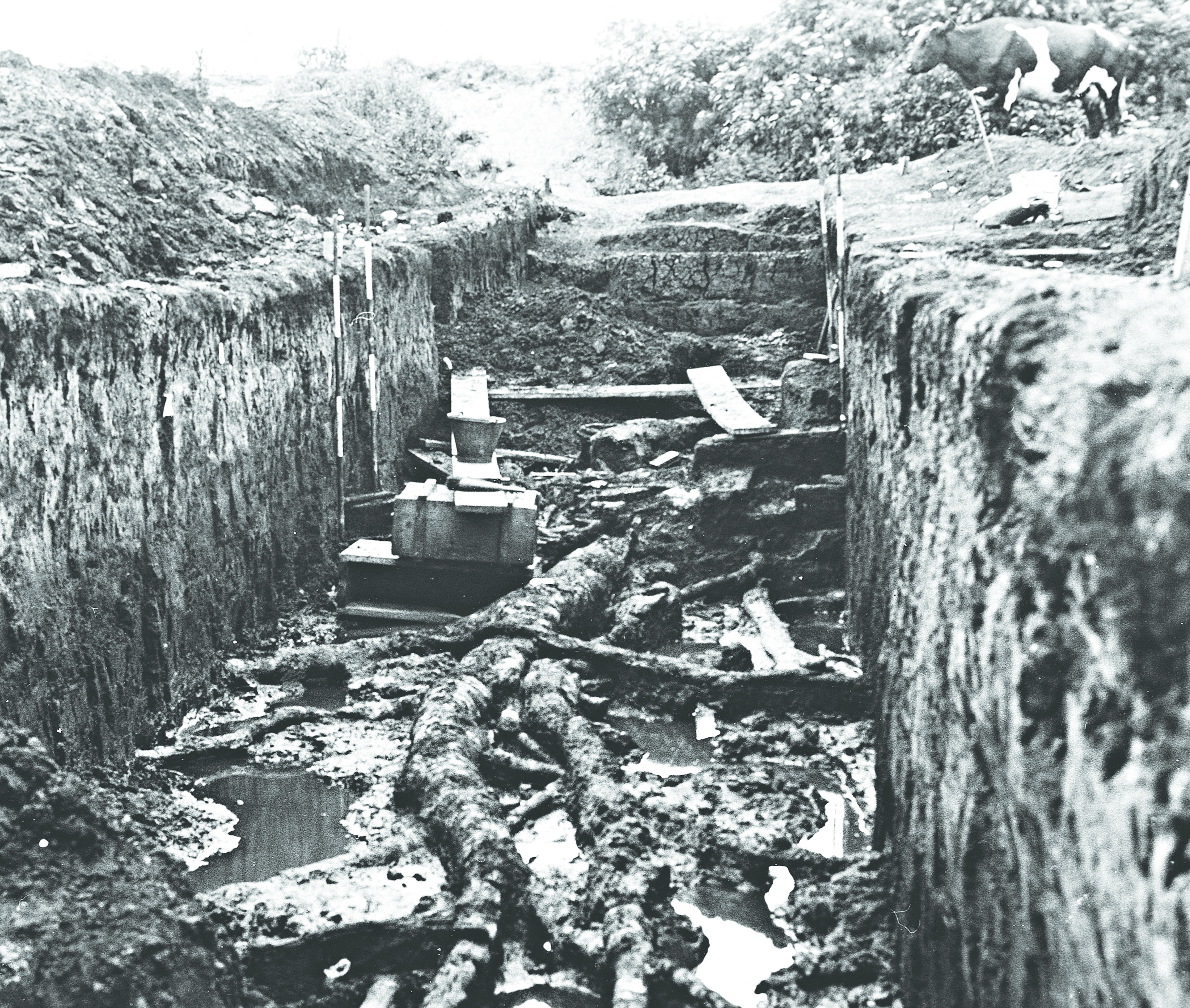 Early excavation at Star Carr with the birch tree in the trench and a cow on the side of the trench