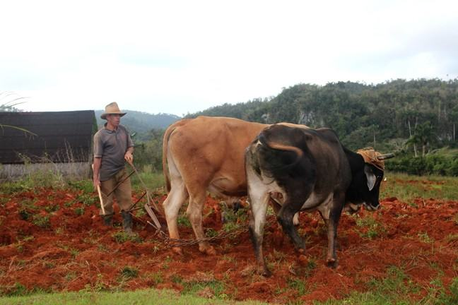 A farmer with two bulls plowing a field