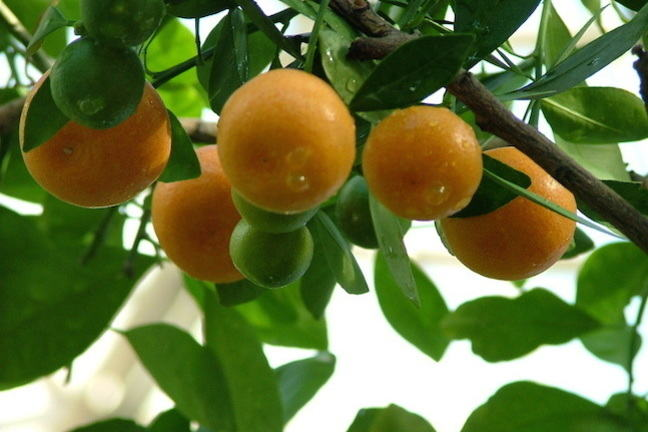 Photo of fruit on tree depicting low hanging fruit