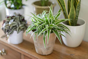 Five house plants on a wooden chest of drawers