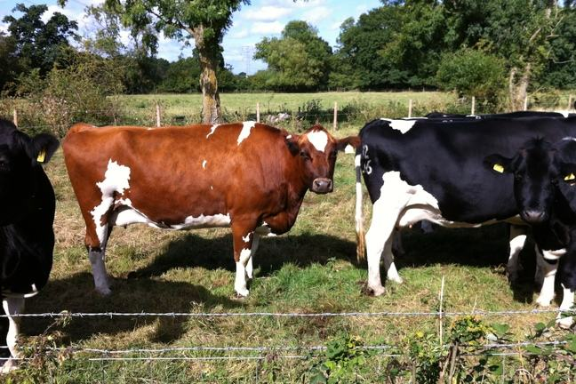 Both black and white, and red and white Holstein cows.