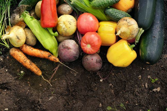A photo of recently harvested vegetables: Onions, carrots, corn, peppers, beetroot, tomatoes, cucmbers and marrows.